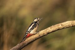 Great spotted Woodpecker, Dendrocopos major royalty free stock photography