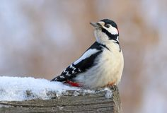 Dendrocopos major. The male great spotted woodpecker sitting on. Dendrocopos major. Great spotted woodpecker on a cloudy day in winter in Siberia Royalty Free Stock Images