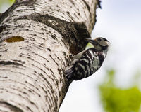 Dendrocopos minor, Lesser Spotted Woodpecker Stock Photo
