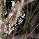 Dendrocopos minor, Lesser Spotted Woodpecker Stock Photography