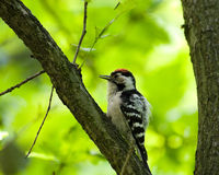 Dendrocopos minor, Lesser Spotted Woodpecker Royalty Free Stock Photos