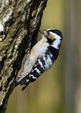 Dendrocopos minor, Lesser Spotted Woodpecker royalty free stock image