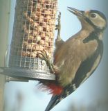 Greater Spotted Woodpecker stock image