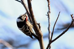 Dendrocopus minor, Aves. Lesser spotted woodpecker Dendrocopus minor, looks for food stock photography
