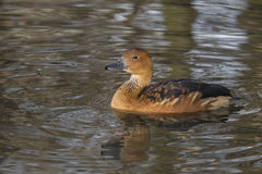 Dendrocygna bicolor. Duck floats in the pond Stock Image