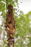 dendrog tillbaka guling-buktade sunbirden behandla som ett barn att se ut från dess ne Arkivfoton
