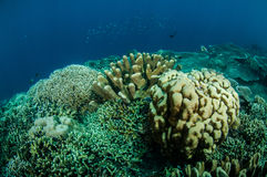 Dendrogyra cyllindrus coral and other various hard coral reefs in Gorontalo, Indonesia underwater photo. Stock Photography
