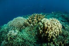 Dendrogyra cyllindruskorall och andra olika hårda korallrever i Gorontalo, Indonesien undervattens- foto Arkivbild