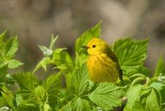 dendroica petechia鸣鸟黄色 免版税图库摄影
