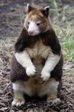 dendrolagus袋鼠matschie matschiei s结构树 库存照片