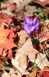 Dendrological Autumn Fox - Rumänien - Gurahont parkerar Royaltyfria Bilder