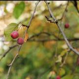 Dendrological Park wilder Sorbus Macea - aufgestellt im Bezirk Arad - dem Rumänien Stockfotografie