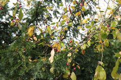 Dendrological Park wilder Sorbus Macea - aufgestellt im Bezirk Arad - dem Rumänien Stockbild