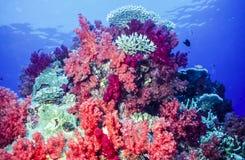 Dendronephthya mjuka koraller Royaltyfria Bilder