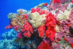 Dendronephthya soft corals Royalty Free Stock Image