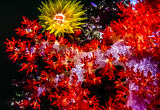 Dendronephthya soft corals. Orange cup corals open at night off coast of Fiji on soft coral stock photography