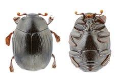 Dendrophilus punctatus Royalty Free Stock Photo