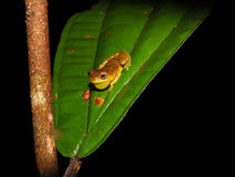 Dendrosophus sp. croacking at night Stock Images