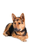 Deneuropé hunden på vit royaltyfri bild