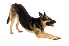 Deneuropé hunden på vit arkivbild