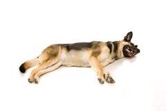 Deneuropé hunden på vit royaltyfri fotografi
