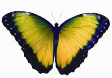 denfärgade fjärilen som isoleras på vit bakgrund med spridning, påskyndar Royaltyfria Bilder