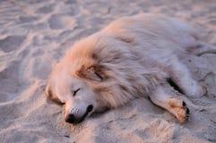 denfärgade hunden sover i sanden på stranden Arkivbild