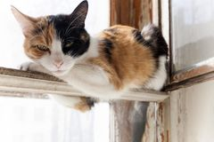denfärgade katten vilar och lögner på fönstret Vit bakgrund Fotografering för Bildbyråer