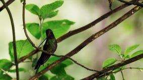 Denfakturerade kolibrin är neotropical art från Ecuador, svärd-fakturerad kolibri Han skjuta i höjden och dricker royaltyfria bilder