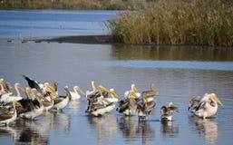 Denfakturerade pelikan eller grå färgpelikan är en medlem av pelikanfamiljen Det föder upp i sydliga Asien från sydliga Pakistan  Fotografering för Bildbyråer