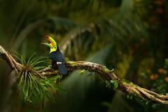 denfakturerade tukan, den Ramphastos sulfuratusen, fågel med stort öppnar räkningen Tukansammanträde på filialen, skog, Boca Tapa arkivbild