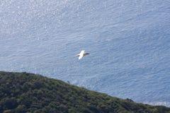 denfakturerade vändkretsfågeln flyger över Lord Howe Island Royaltyfria Bilder