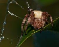 Denfläck orb-vävaren, Araneusquadratus royaltyfria bilder