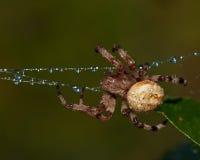 Denfläck orb-vävaren, Araneusquadratus fotografering för bildbyråer