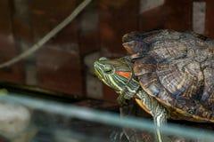 Dengå i ax glidaresköldpaddan royaltyfri fotografi