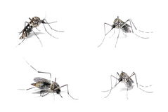 Dengue Host Royalty Free Stock Photography