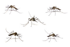 Dengue Mosquito Stock Photo