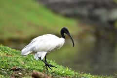 Denhövdade ibits har en lång krokig svart näbb utan fjädrar royaltyfria bilder