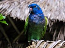 Denhövdade papegojan royaltyfri fotografi