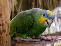 Denhövdade papegojan royaltyfri bild