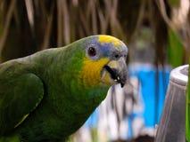 Denhövdade papegojan Fotografering för Bildbyråer