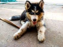 Denhaired unga hunden har 2 ögon, en blå färg Andra sidan, svart gullig tunga royaltyfria foton