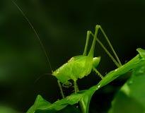 denhorned gräshoppan gillar kristallen arkivbild
