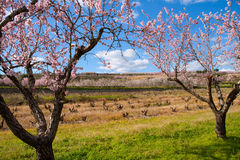 Denia Javea in spring with almond tree flowers Alicante Royalty Free Stock Photography