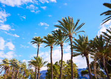 Denia palm trees in Marineta Casiana beach Royalty Free Stock Photos