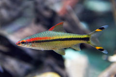 Denison barb (Sahyadria denisonii). Closeup image of the Denison barb seen from the side stock image