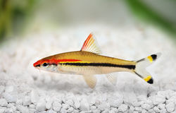 Denisons barb Roseline Shark Sahyadria denisonii red-line torpedo barb. Aquarium fish royalty free stock images
