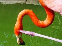 Denkende Flamingo Royalty-vrije Stock Foto's