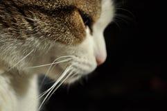 Denkende Katze, die rechts schaut Lizenzfreies Stockfoto