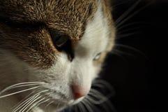 Denkende Katze, die rechts schaut Stockfoto